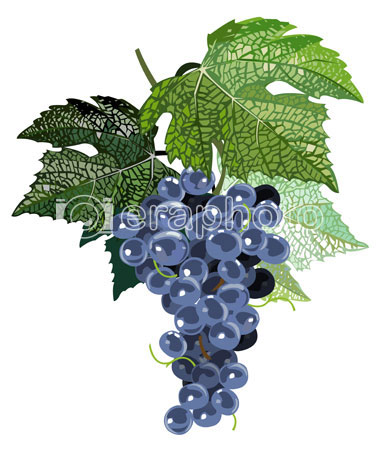 #2000060 - Black grapes with leaves