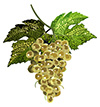 #2000063 - White grapes with leaves